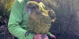 Dikste papegaaiensoort ter wereld kent recordbrekend paarseizoen