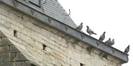 Lierse duiven aan de pil