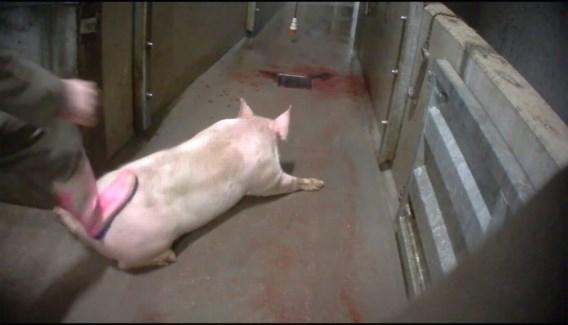 Slachthuizen krijgen aparte controles op dierenwelzijn