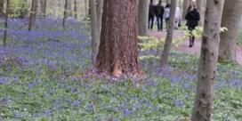 Touwen houden hyacintentoeristen uit de bloemen