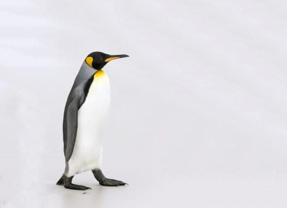 Zoo Antwerpen helpt pinguïns zoeken naar partner met 'lichtshow'