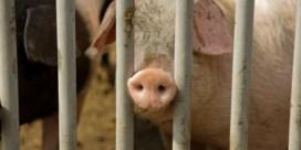 Belgische varkensboeren herademen dankzij China
