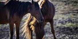 Paard komt uit Perzië