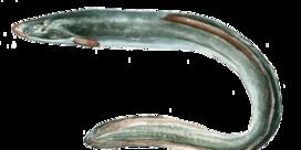 Zeg nooit meer paling tegen een aal