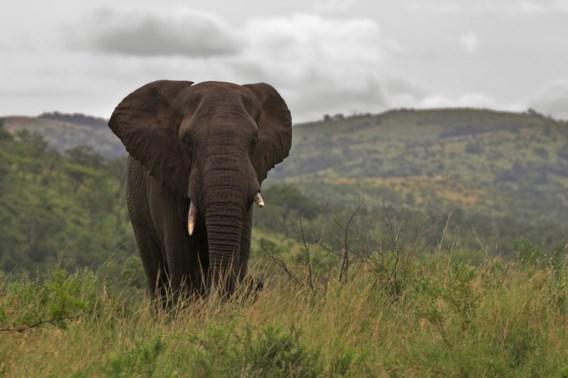 Afrikaanse landen vragen om soepelere wetgeving ivoor- en olifantenhandel