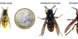 De jacht op de Aziatische hoornaar is geopend