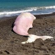 Vijf dode walvissen in week tijd bij Sicilië
