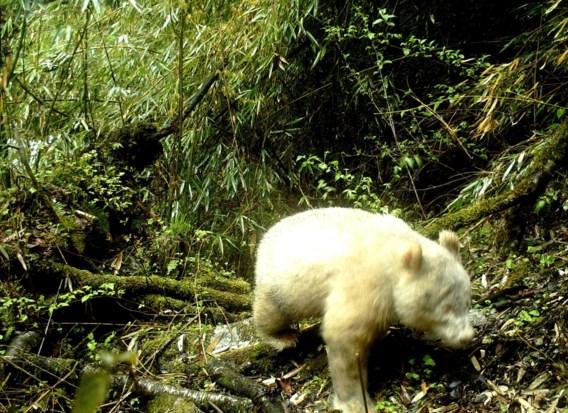 Zeldzame witte panda gespot in China