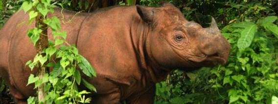 Laatste mannelijke Sumatraanse neushoorn overleden