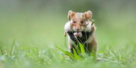 Vlaanderen laat wilde hamsters vrij in Limburg