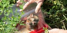 Operatie-Red de hamster