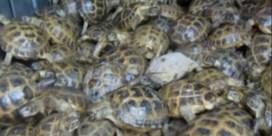 Meer dan 4.000 schildpadden gevonden onder 7 ton groene kool