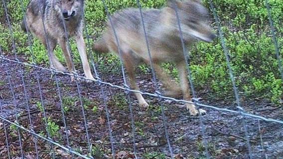 Jonge wolven geboren in Nederlands natuurpark: 'ongetwijfeld ook al Belgische wolven'