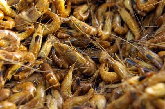 Minder garnalen en meer exoten in de Noordzee