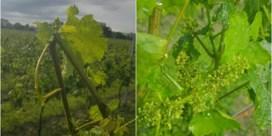 Antwerps wijndomein enkele uren na voorstelling eerste rosé deels kapot gehageld