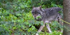 Nieuwe wolf gespot in de Hoge Venen