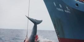Japan heropent commerciële jacht op walvissen