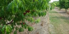 Rampjaar voor Hagelandse perziken
