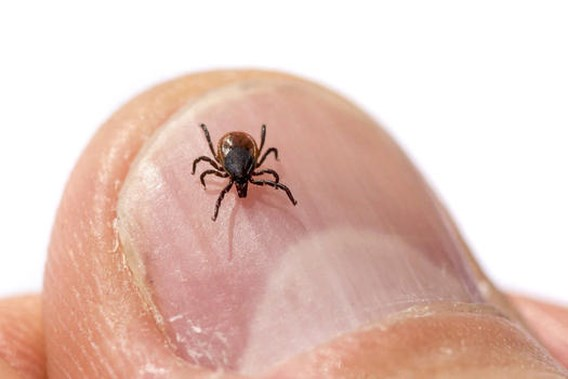ZOMERCHECK. 'Meer teken verspreiden meer ziektes in België'