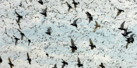 Is nieuw fraudegeval in duivensport topje van de ijsberg?