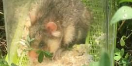 Reddingsplan hamsters