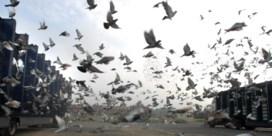 Fraude met Lanakense topduif zet duivenwereld op zijn kop