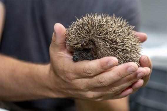 Aantal egels in Vlaanderen in tien jaar tijd gehalveerd
