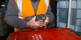 Verdwaald pinguïnpaar kiest sushizaak om te nestelen