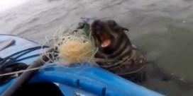 Zeeleeuw in nood benadert kajakker voor hulp