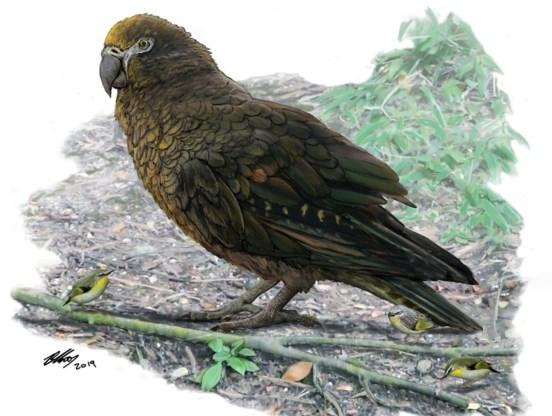 'Reusachtige papegaai' ontdekt die ooit Nieuw-Zeeland bevolkte