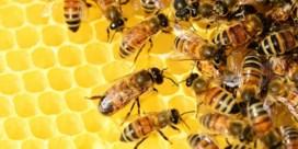 Onervaren imkers zorgen voor rondzwervende bijen in Berlijn