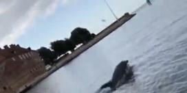 Dolfijn gespot die jongleert met een kwal