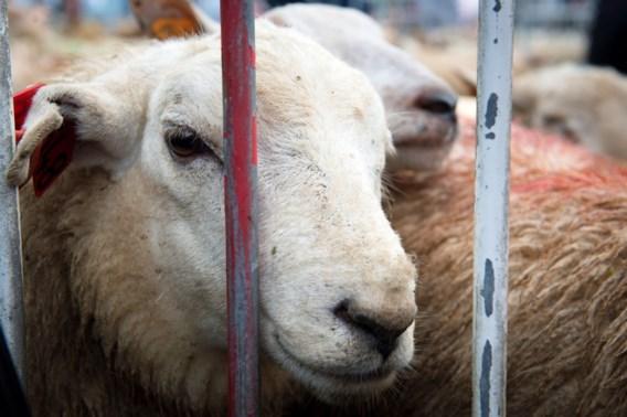 Moslims vieren eerste Offerfeest sinds verbod op onverdoofd slachten