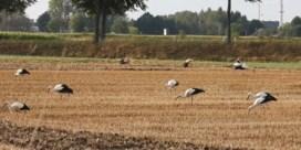 Nooit eerder zoveel ooievaars samen gespot in België
