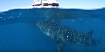 Duikers worden vijftien minuten lang achtervolgd door nieuwsgierige walvishaai