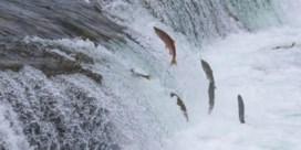Wetenschappers stellen massale sterfte vast onder zalmen in Alaska