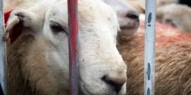 56 procent minder dieren geslacht tijdens Offerfeest