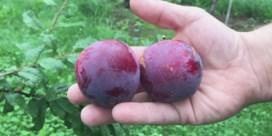 De pruim kan de fruitcrisis bedwingen