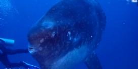 Duikers zwemmen naast gigantische maanvis in Bali