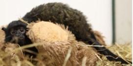 Man opgepakt in Brussel die aapje wilde verkopen via internet