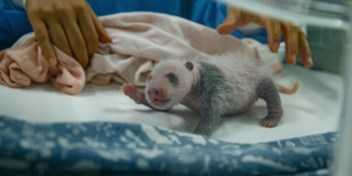Pandatweeling voorgesteld aan de pers