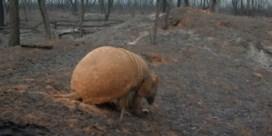 Ook Bolivia brandt: verdwaald gordeldier zoekt uitweg