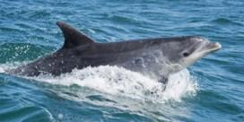 Nieuw-Zeeland verbiedt zwemmen met dolfijnen in populaire Bay of Islands