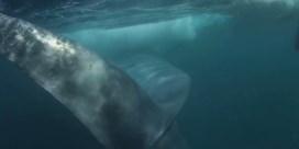 Snorkelaar filmt hoe hij net niet wordt opgeslokt door een vinvis
