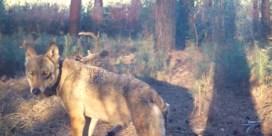 Extra personeel voor zoektocht naar wolvin Naya