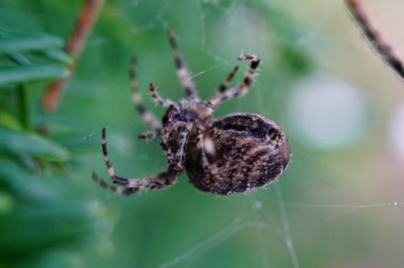 UGent zoekt zo veel mogelijk foto's van spinnen