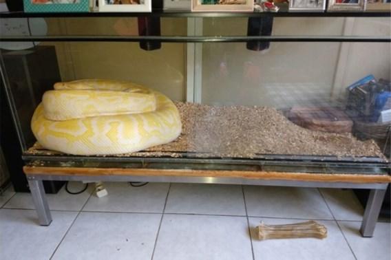 Tijgerpython van 6,5 meter in beslag genomen: 'Germaine at twee à drie levende kippen per week'