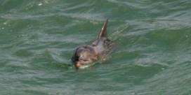 'Kanaaldolfijnen' zitten vol vervuiling
