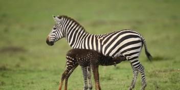 Fotograaf spot zebra zonder strepen (en dat is niet zonder gevaar)