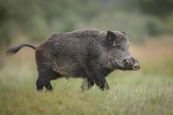 Jager schiet vader dood tijdens illegale jacht op zwijnen
